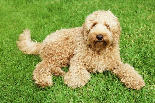 Лабрадудль - гипоаллергенная порода собак