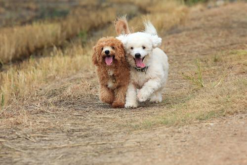 пудель - гипоаллергенная порода собак