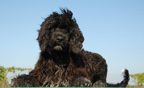 Португальская водная собака - гипоаллергенная порода собак