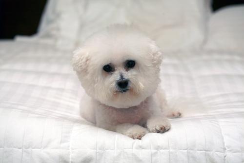 Бишон Фризе - гипоаллергенная порода собак