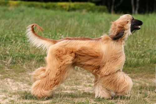 Афганская борзая - гипоаллергенная порода собак